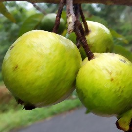 Guava Flavour Nicotine Free e-Liquid Juice 10ml